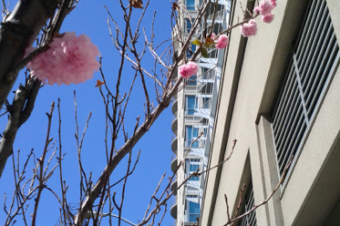 今年一番に咲いた桜は